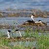 Western Grebes make nests