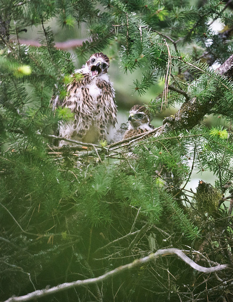 Northern Goshawk Juveniles