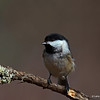 Black Capped Chickadee in Sax-Zim Bog