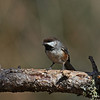 Boreal Chickadee - part of group of 4 in Sax-Zim Bog