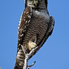 Northern Hawk Owl - Seen Hwy 7 South of Zim Road - Sax-Zim Bog