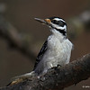 Hairy Woodpecker in Sax-Zim Bog