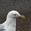Herring Gull in Two Harbors - Mis-shaped bill