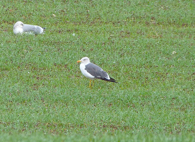 Lesser Black-backed Gull centre