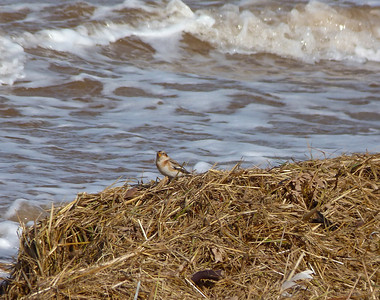 Snow Bunting, feeling right at home