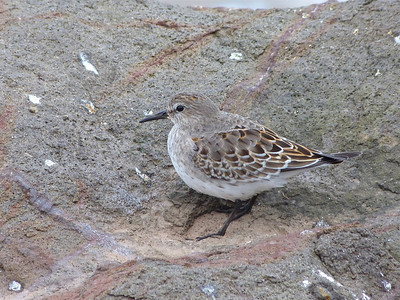 White-rumped Sandpiper juvenile (note wings extending well beyond tail, wide dark shaft on newly moulted scapular feathers, modest bill)