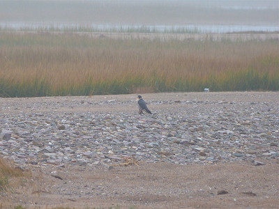 Peregrine Falcon, left hand bird, in light fog