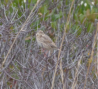 Savannah Sparrow, Sable Island / Ipswich Sparrow race