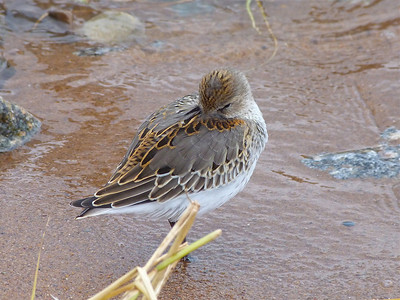 Dunlin juvenile, partially into first winter plumage