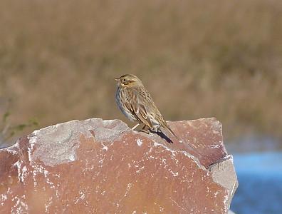 Savannah Sparrow ( and not the Sable Island / Ipswich Sparrow race)