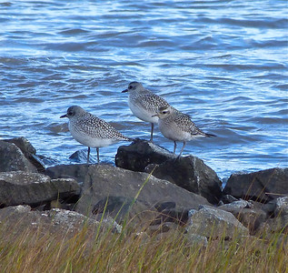 American Golden-Plover, front right, with 2 BBPL to left, note bill size and flank pattern