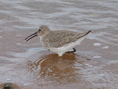 Dunlin adult almost fully into non-breeding plumage
