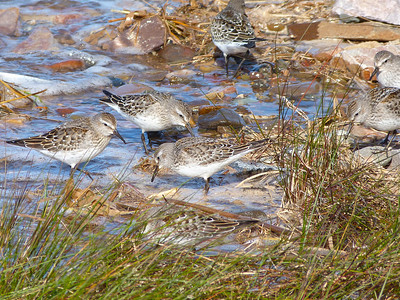White-rumped Sandpipers feeding at high tide