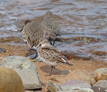 White-rumped Sandpiper juvenile, centre foreground, moulting into first winter plumage, Dunlin in background