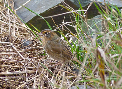 Nelson's Sparrow regional subspecies subvirgatus