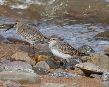 White-rumped Sandpiper adult, centre, well into nonbreeding plumage, Dunlin left background