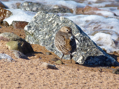 Dunlin juvenile well into first winter plumage