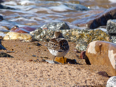 White-rumped Sandpiper juvenile, virtually no first winter feathers