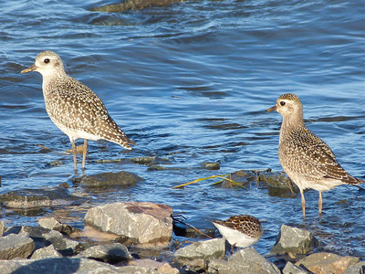 Black-bellied Plover on left, American Golden-Plover on right, both juveniles.