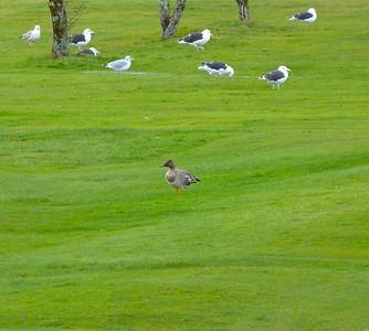 Tundra Bean-Goose