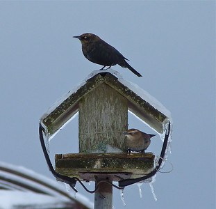 Rusty Blackbirds male and female