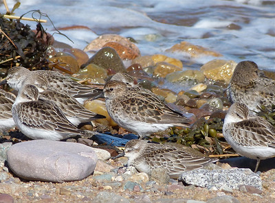 Semipalmated Sandpiper, centre, in full, worn, breeding plumage, with a deformity at the base of its bill that is likely disease-related. Given the date October 3rd, moult has likely been much delayed by the pathological condition.