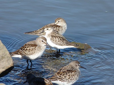 Semipalmated Sandpiper (centre) with White-rumped Sandpipers