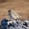 Ipswich Sparrow, the Sable Island subspecies of Savannah Sparrow