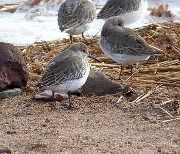 Dunlin immature moulting to first winter plumage