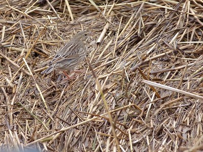 Savannah Sparrow: Ipswich Sparrow sub-species