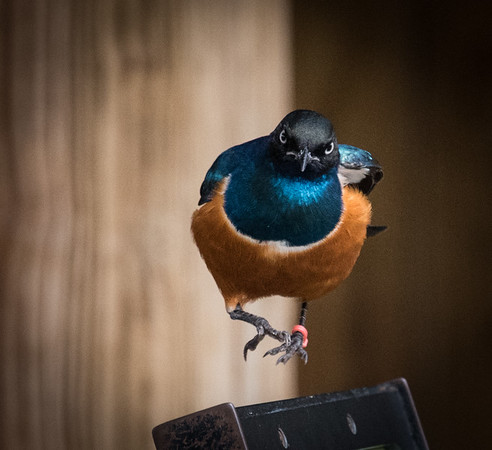 Superb Starling, 2015  ©Gerald Diamond All rights reserved