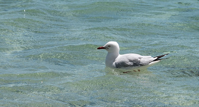 Gull, Stokes Beach, Kangaroo Island, South Australia 2014  ©Gerald Diamond All rights reserved