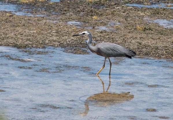 Blue Heron, Kangaroo Island, Australia 2014   ©Gerald Diamond All rights reserved