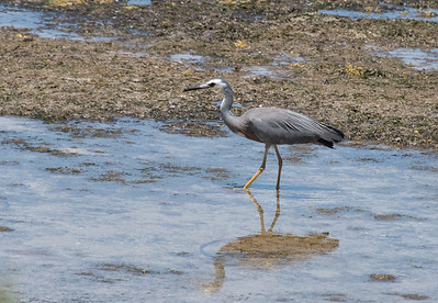 Blue Heron, Kangaroo Island, Australia 2014   ©Gerald Diamond All rights reserved