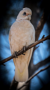 Cockatoo, Murray Bridge, South Australia 2014   ©Gerald Diamond All rights reserved