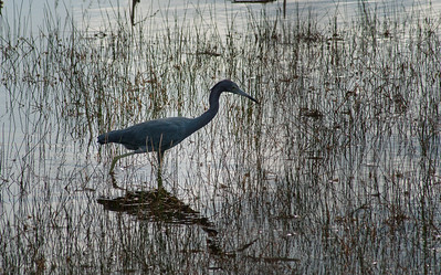 Little Blue Heron, Lake Woodruff National Wildlife Refuge, Florida