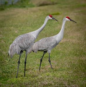 Sandhill Cranes, Payne's Prairie, Florida 2015