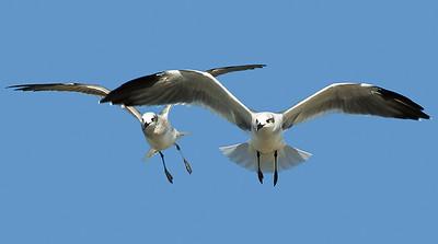 Seagulls - Outer Banks, North Carolina