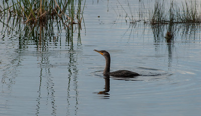 Double-crested Cormorant, Lake Woodruff National Wildlife Refuge, Florida