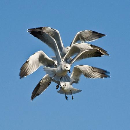 Gulls - Outer Banks, North Carolina