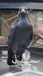Raven, Yellowstone National Park, Wyoming