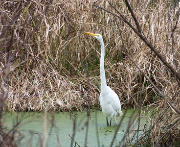 Great Egret, Payne's Prairie, Florida 2015  ©Gerald Diamond All rights reserved