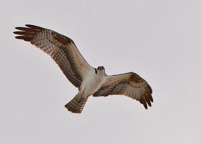Birds- Ospreys, pelicans, etc