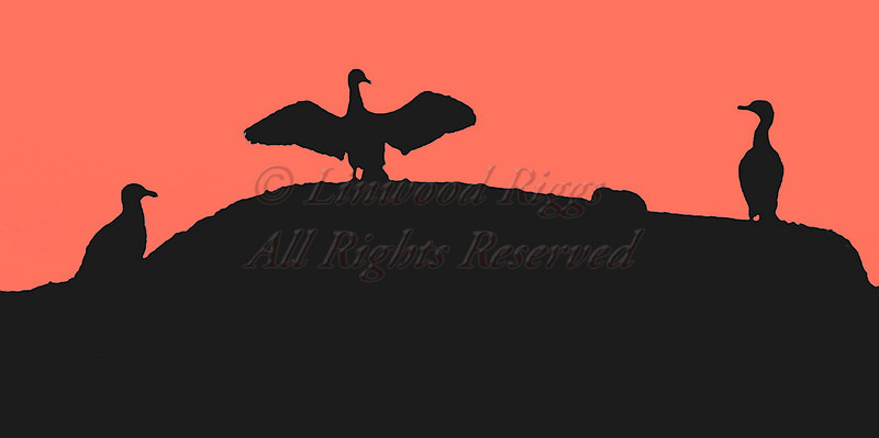 Cormorants near Eastern Egg Rock, M
