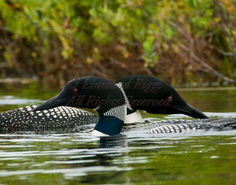 Loons on Messalonskee Lake, Belgrade, Maine