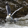A gull catches an alewife.