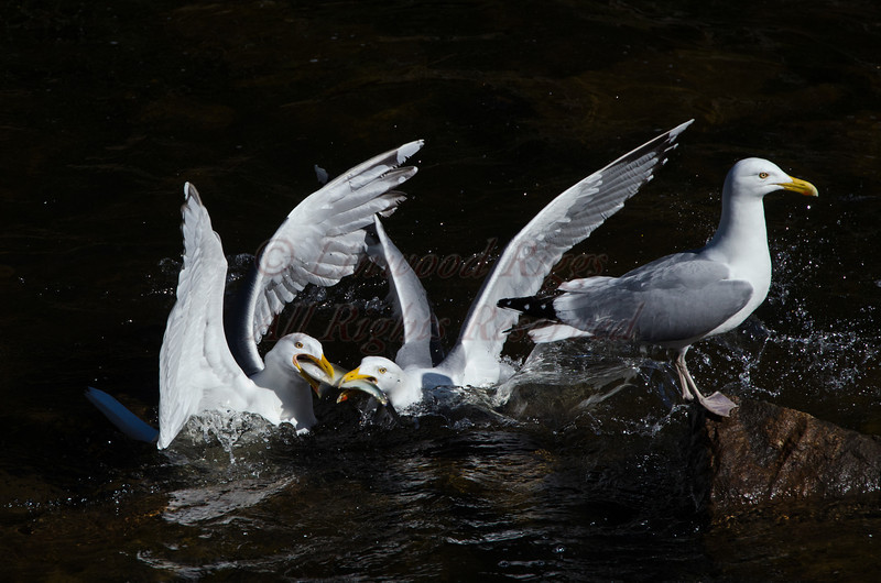 Herring Gulls squabble over an alewife.