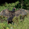 Turkey vulture drying its wings.