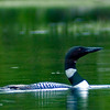 Common Loon on a lake in Maine.