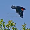 Red Winged Blackbird.